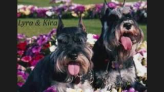 Kira - My Best Friend 1999 / 2006 Minature Schnauzer - Show Off Pet.wmv