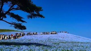 国営ひたち海浜公園 みはらしの丘のネモフィラ 〜2017年4月24日〜 ネモフィラの丘 検索動画 20