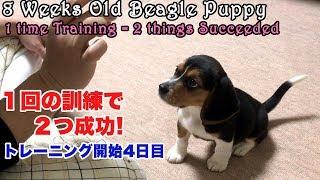 この方法がしつけトレーニング成功の秘訣!ビーグル犬って本当に賢くて...