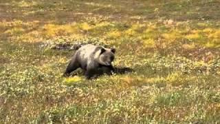 МЕДВЕДЬ АТАКУЕТ! Russian Bear attack me.