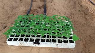 زراعة الخيار عن طريق البذور والشتلات
