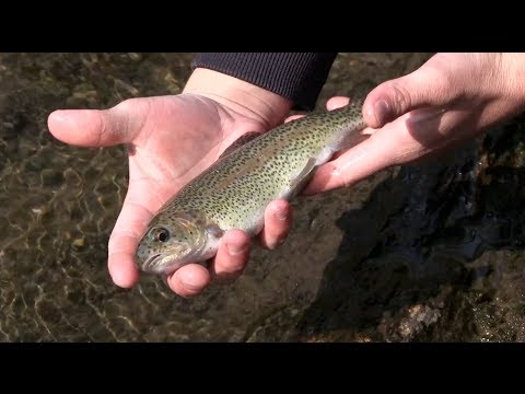Chattooga River Trout