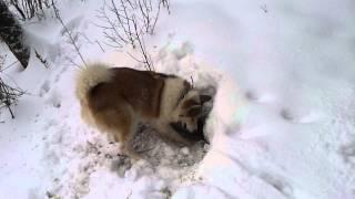 Охота на норку в Сибири видео