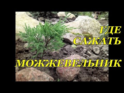 Можжевельник казацкий «Тамарисцифолия» и «Вариегата