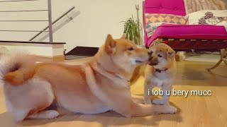 Better side of Shiro - Shiba Inu puppies (with captions)