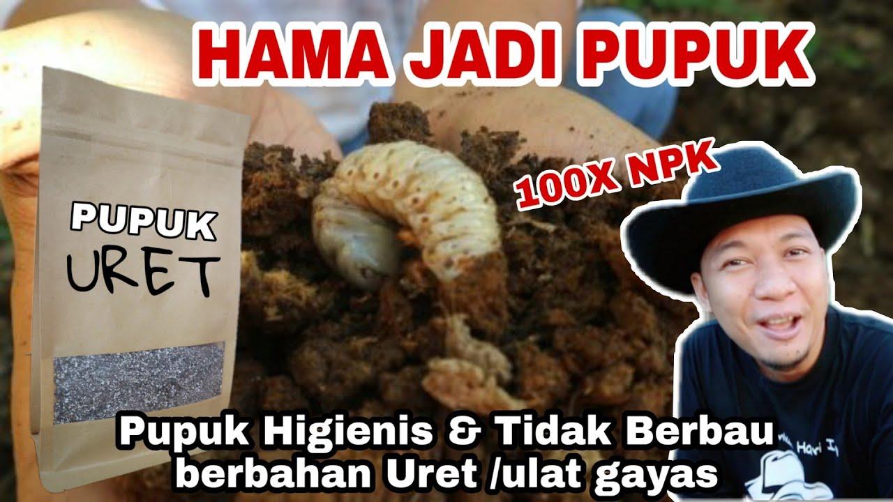 Membuat Pupuk dari Hama ulat Uret, Pertama di dunia!!!!