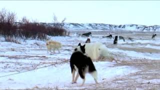 Polar Bears A Summer Odyssey 2012