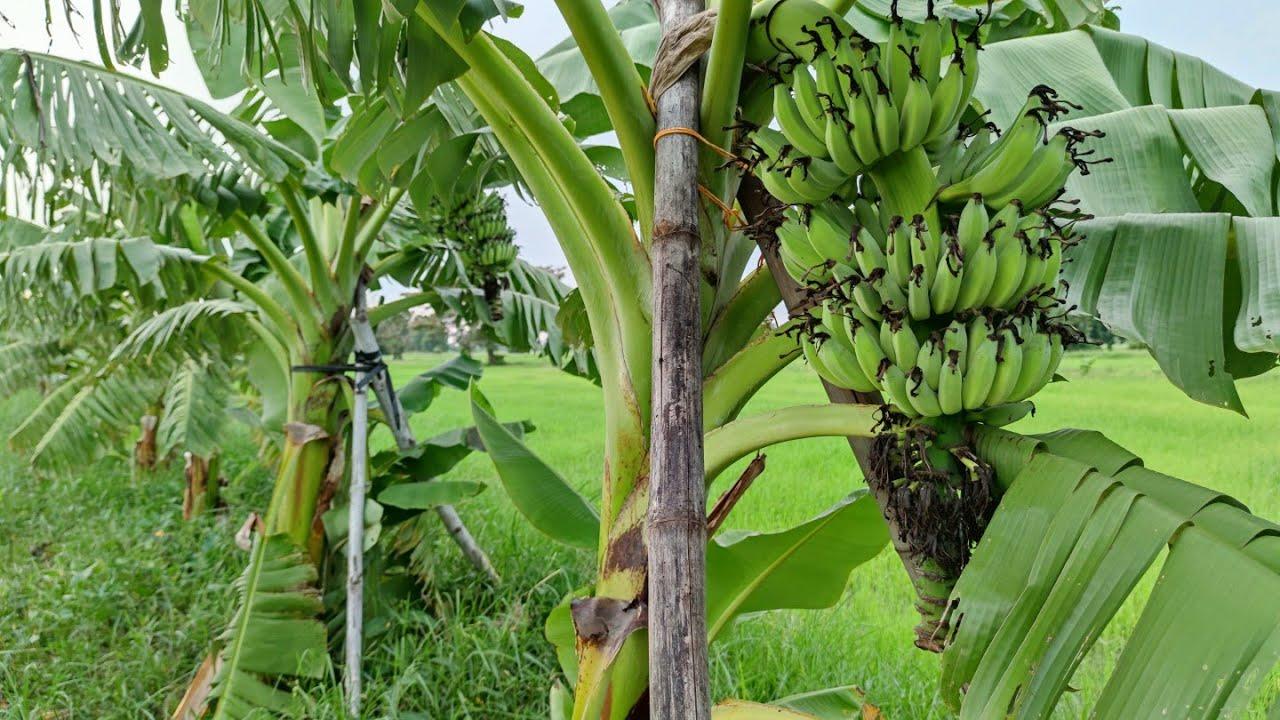 คันนาสีเขียวด้วยต้นกล้วย