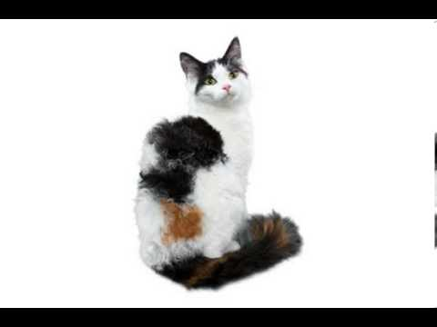 laperm cat breeders scotland