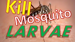 How to kill Mosquito Larvae in Standing Water.  Control & Kill Mosquitoes Extermination