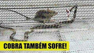 Dor e sofrimento! Essas cobras se deram muito mal e envergonham a espécie thumbnail