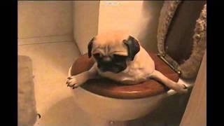 Pug In Toilet