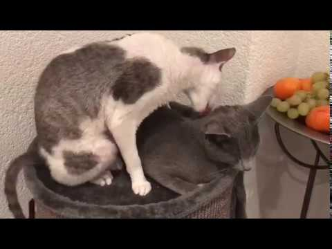 Cornish Rex vs Russian Blue! Best Friends!