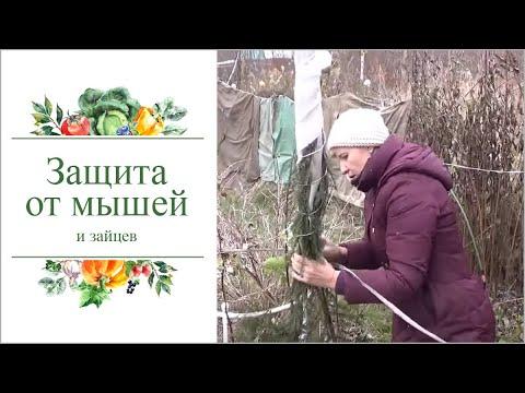 Как зимой уберечь молодые саженцы деревьев  от мышей и зайцев.