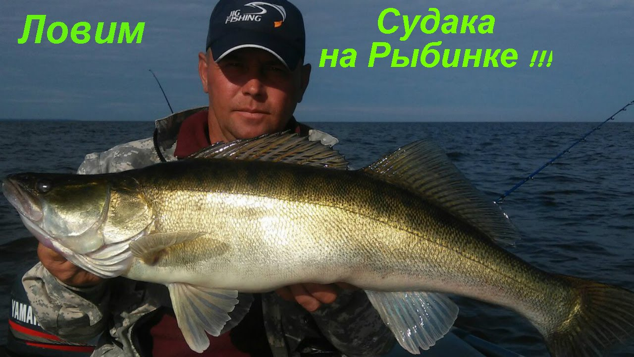 ловля судак на рыбинском