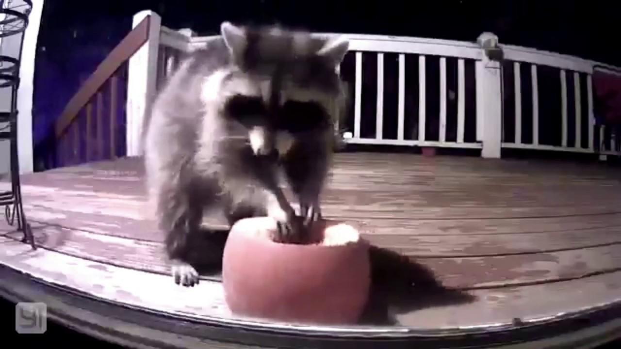 Raccoon Eating A Pumpkin YouTube - Pumpkin rescued raccoon