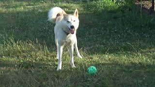 Весёлая собака играет с мячом. Смешное видео.Кокорин , Мамаев, Дзюба.