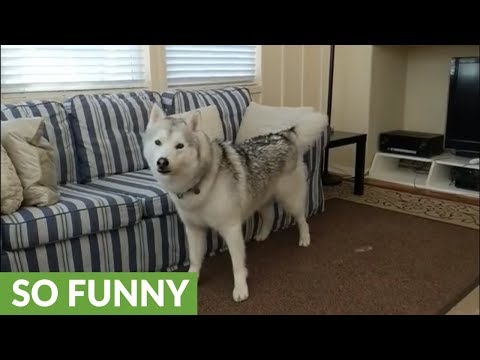 Husky ready for walk can't hold excitement any longer
