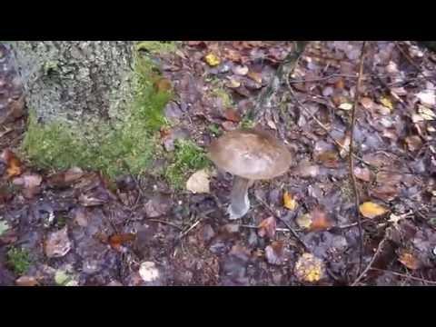 Красавец гриб черноголовик подберезовик!