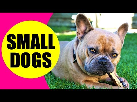 SMALL DOG BREEDS - List of Small Dog Breeds in the World