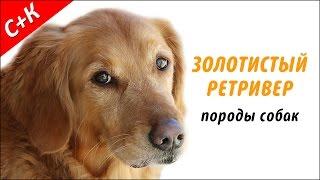 Золотистый (голден) ретривер - породы собак.