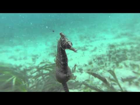 White's Seahorse giving birth in the wild- NSW Aus