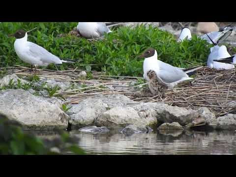 ユリカモメまだ小さい雛 Blackheaded Gulls & chicks in Colony 2018 0523