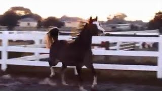 arab filly prancing showing her moves with no stupid human help amazing little filly