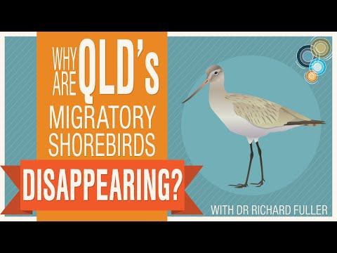 Why are Queensland's migratory shore-birds disappearing?