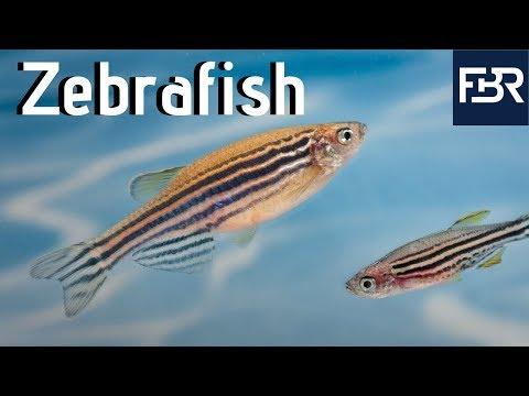 Three Human Diseases That Zebrafish Have Helped Treat