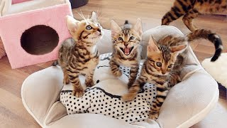 Bengal Kittens Can't stop Screaming, Chirping and Meowing