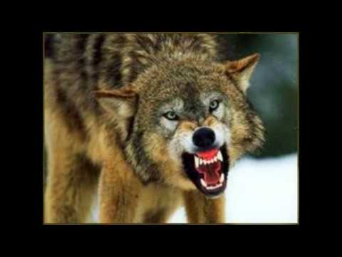 SCARY WOLF GROWLING