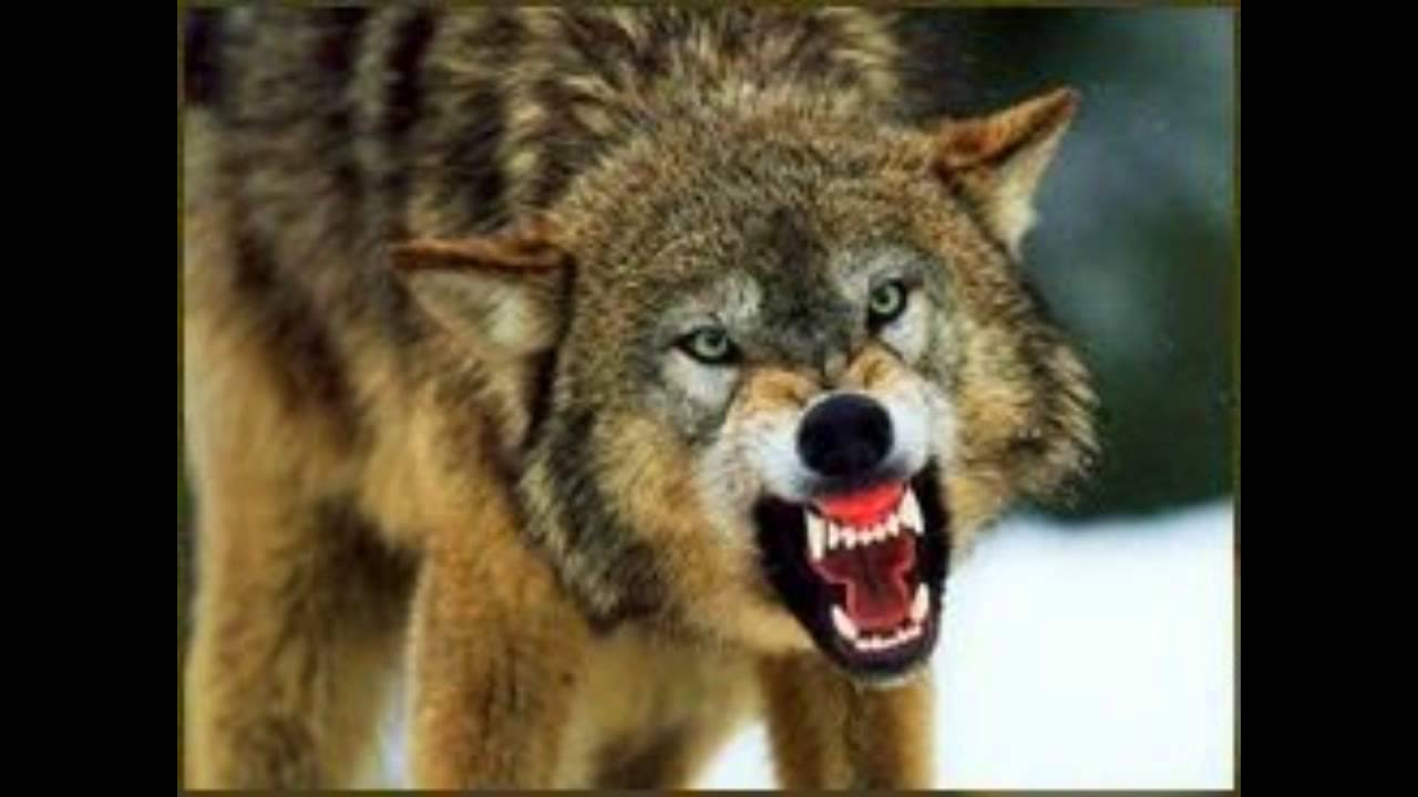SCARY WOLF GROWLING - YouTube