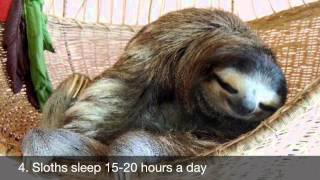 why the sloth is the perfect pet