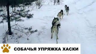 Собачья упряжка хаски. Тренировка ездовых собак от лица каюра
