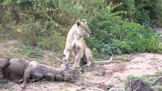 Lion taking down a waterbuck for her cubs