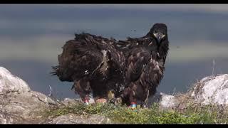 Hafarnarungar - White-tailed eagle chics