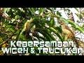Wiceh Liar Akur Dengan Trucukan Di Pohon Salam  Mp3 - Mp4 Download