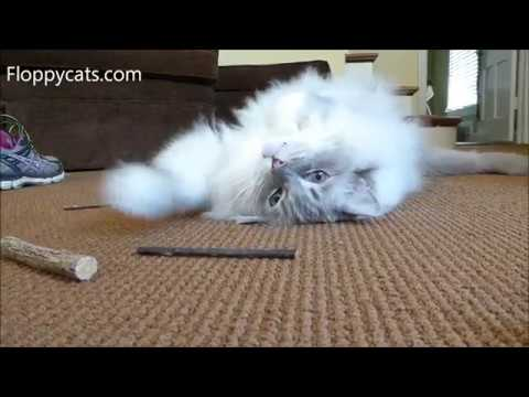 Silver Vine Sticks for Cats – Is Silver Vine Safe for Cats? – Floppycats