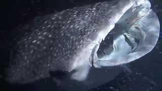 Whale Shark at night, Maldives MV Virgo
