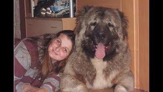 Repeat youtube video Jozo Dogs- Grizli 97 kg / 89 cm . Caucasian Shepherd.