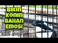 Konin Gacor Full Tembakan Suara Tajam Dan Nyaring Bikin Konin Bahan Cepat Ikut Bunyi Kolibri Gacor  Mp3 - Mp4 Download