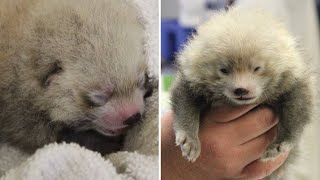Zoo Plans Gender Reveal Party for 1-Month-Old Red Panda Twins