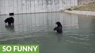 オヤツのためならエンヤコラ!水中を二足歩行するクマーの映像が撮影された