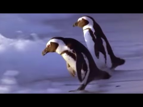 African Penguins go hunting - Mountain of the Sea - BBC