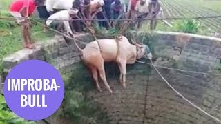 Bull rescued from 20 foot well by farmers using rope