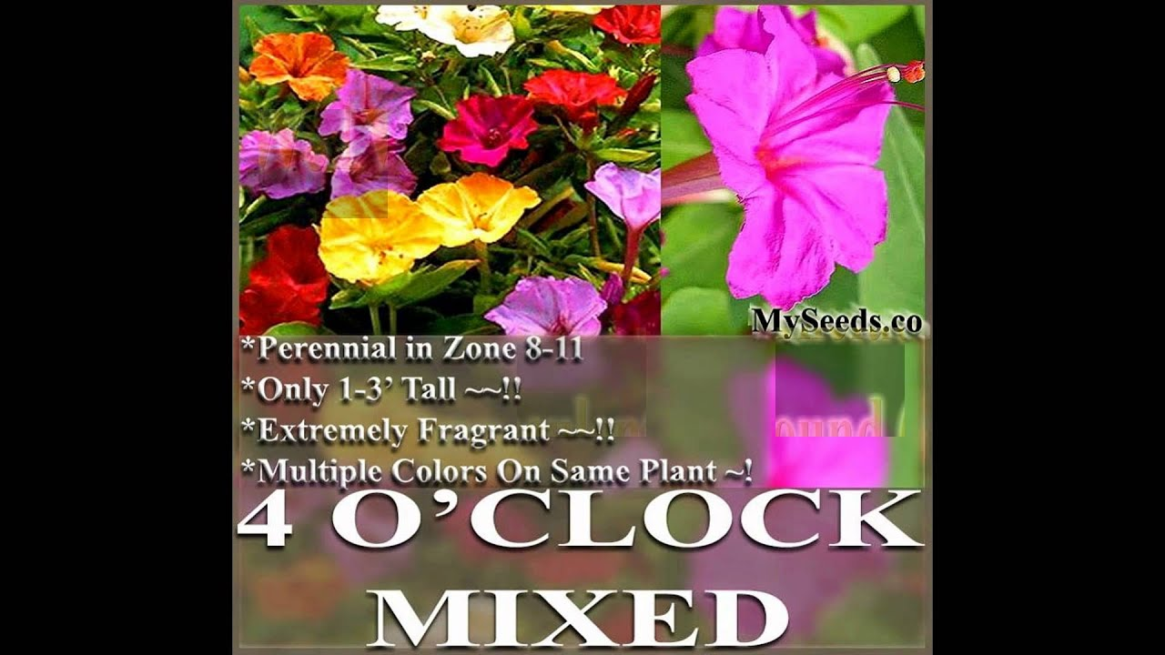 4 Oclock Mix Fragrant Mirabillis Jalapa Flower Seeds On Www