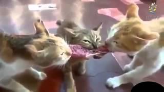 Подборка приколов о кошках и не только! СМЕХ без остановки