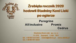 Prezentacja zdjęciowa z dnia 13 10 2020 źrebiąt hodowli Stadniny Koni Liski po ogierze Peregrine