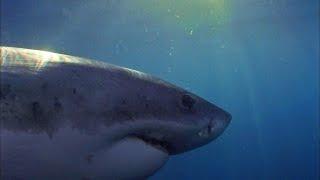 How the Massive Great White Shark Ambushes Its Prey